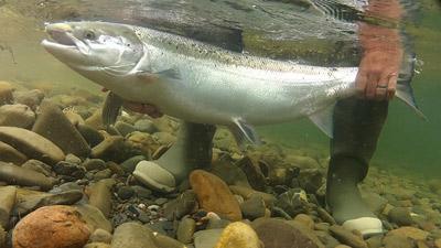underater salmon