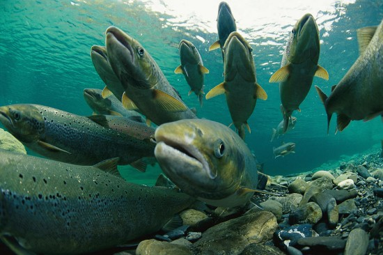 Group_Atlantic_salmon